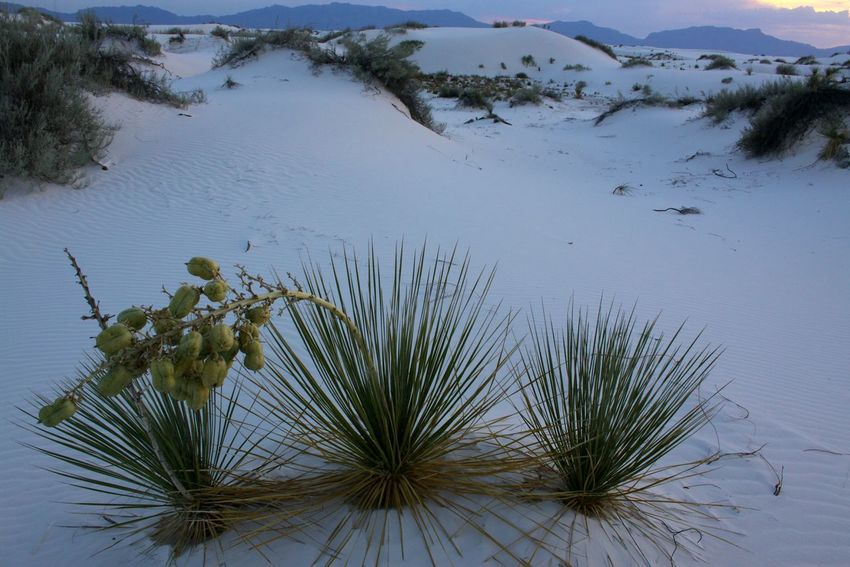 Yucca Outdoors Beauty In Nature Desert Landscape WhiteSands National Park