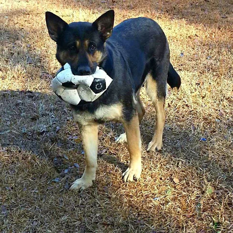 Our fierce protector, caught in the act, looking completely innocent as yet another stolen game ball hangs flat out of her mouth. German Shepherd UnconditionalLoveDog Loyalty Is Everything Proud Mommy:) Doggieballkiller Family Dogs What's That? Friendship Never Ends Fiercefamilyprotector
