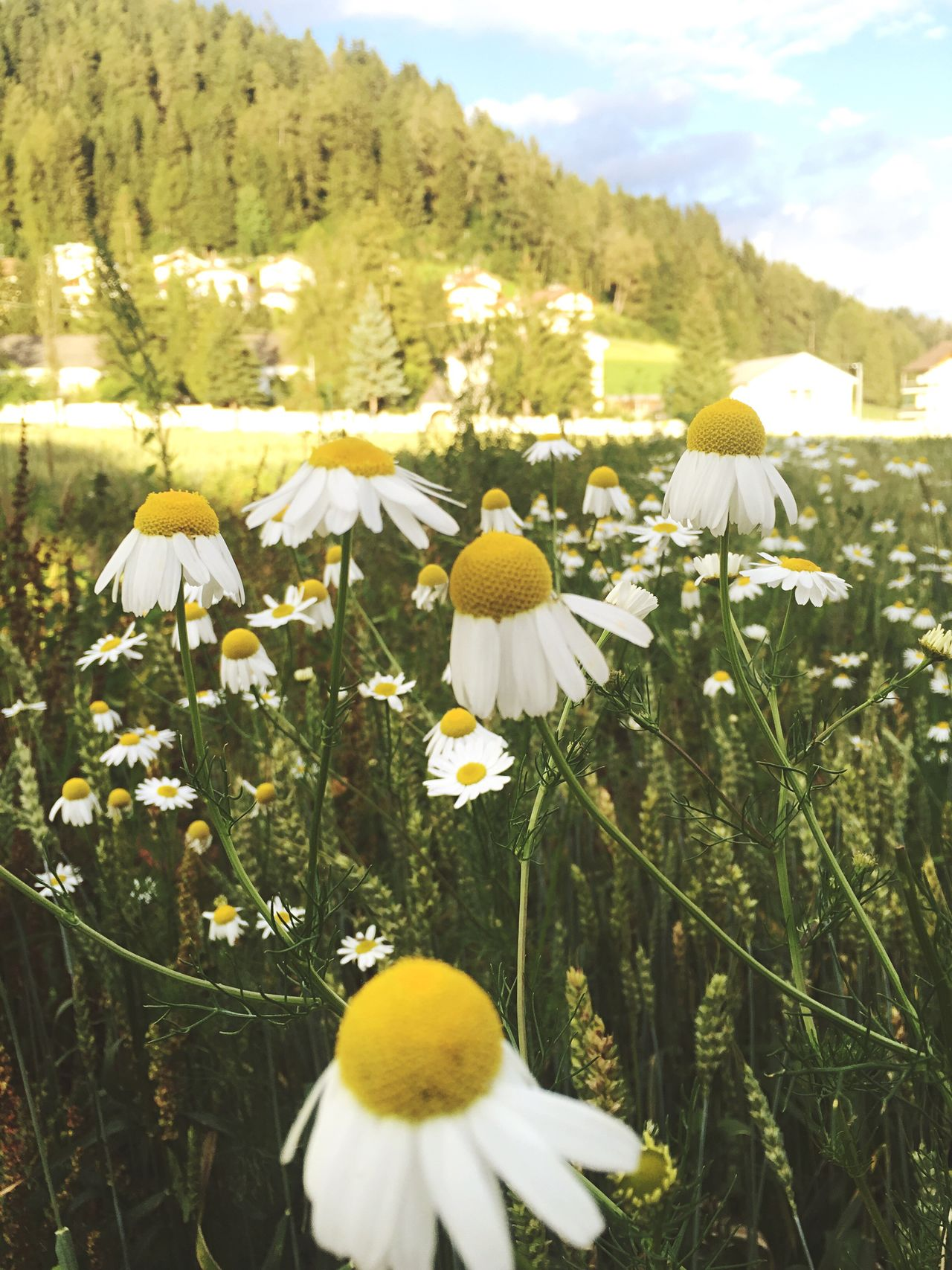 Chamomile Flower Fragility Freshness Growth Yellow Beauty In Nature Close-up White Petal Field Rural Scene Mountain Stem Nature Plant Daisy Travel Destinations Abundance Growing Agriculture Trentino  Val Pusteria