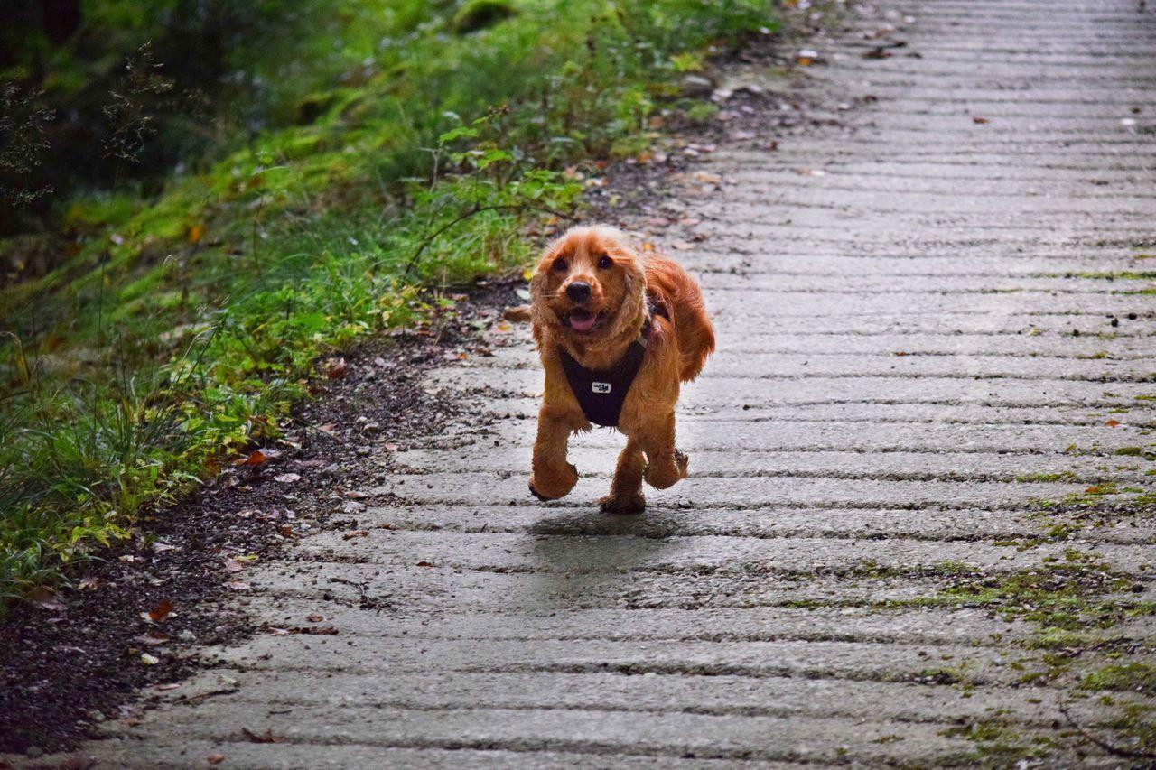 EyeEm Selects Animal Themes Animal Dog Cockerspaniel Nature Forest Leaves Tree Run