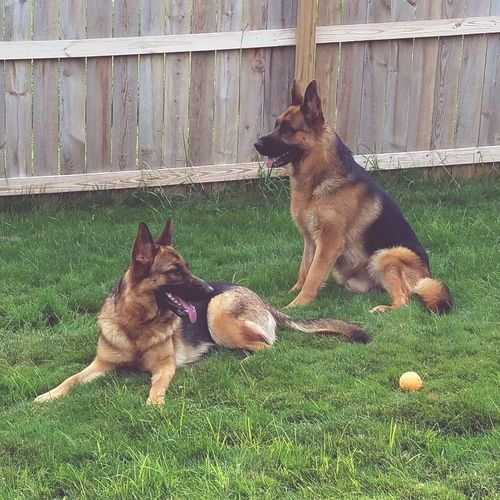 Pink and Floyd relaxing. Hanging Out German Shepherd Majestic Canine Companion Pet Portraits