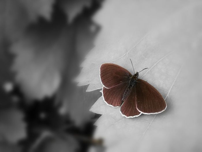 Schmetterling mit dem HuaweiP9 mit Farbakzent