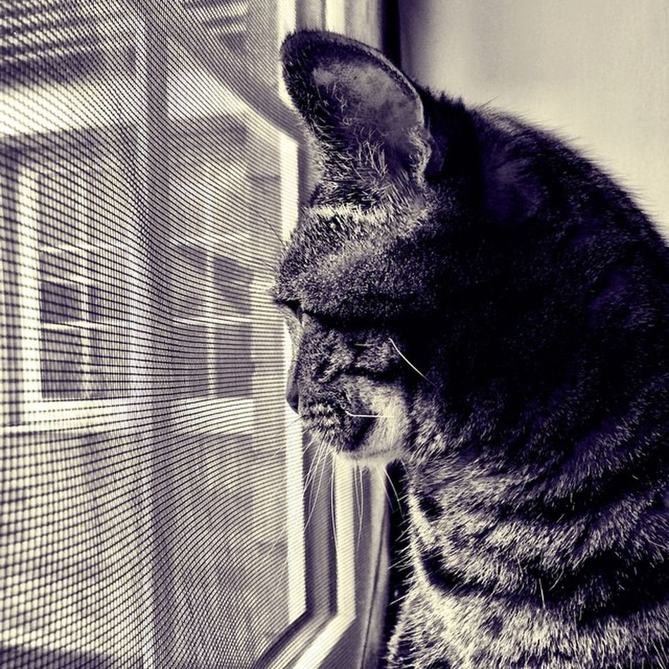 Grumble looking out on the big wide World Crazycatgirl Crazycatlady Cats Catsofig Catstagram Catsofinstagram Tabby TabbyCat Tabbiesofig Tabbiesofinstagram Petsofig Petstagram Petsofinstagram Stripy Love Beautiful Furry Fluffy Furbaby Soft Cameraplus K8marieuk Katemariephotographyuk snuggles