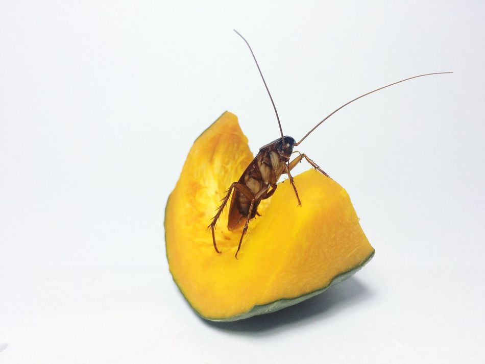 Beautiful stock photos of cockroach,  Animal Themes,  Cantaloupe,  Close-Up,  Cockroach