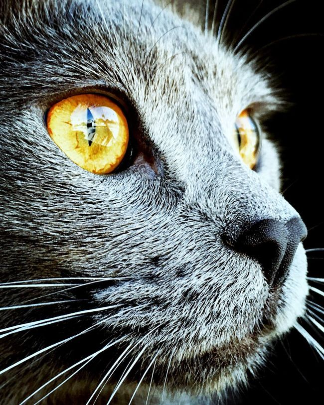 IPhoneography Close-up Cat Mr. RussianBlue Housetiger Portrait Yelloweyes Beauty Looking Into The Future Reflection Looking To The Other Side Gazing Out The Window Calicat