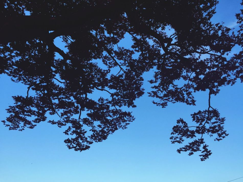 Sky Sky And Clouds Tree Trees Nature Low Angle View Tree No People EyeEm Nature Lover EyeEmBestPics Nature Landscape Landscape_photography EyeEm Best Shots Eye Em Best Shots - Nature Eye Best Shot EyeEm Gallery Eye4photography  Blue Blue Sky Branch Clear Sky Outdoors Day Astronomy