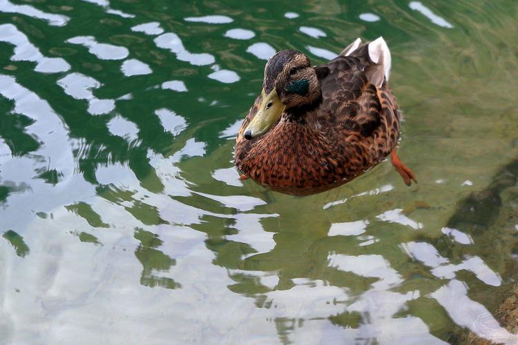 EyeEm Selects Water Swimming Animal Wildlife One Animal Bird Lake Duck Wild Duck Adršpachské Skály Adršpach
