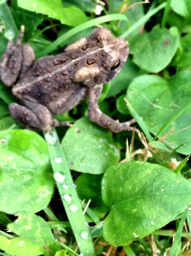 Saw it captured it... Green Color Animals In The Wild Nature Camouflage Tranquility Beauty In Nature Ourworldthrumyeyes Toad Macro_collection Macro Nature Macro Water Drops