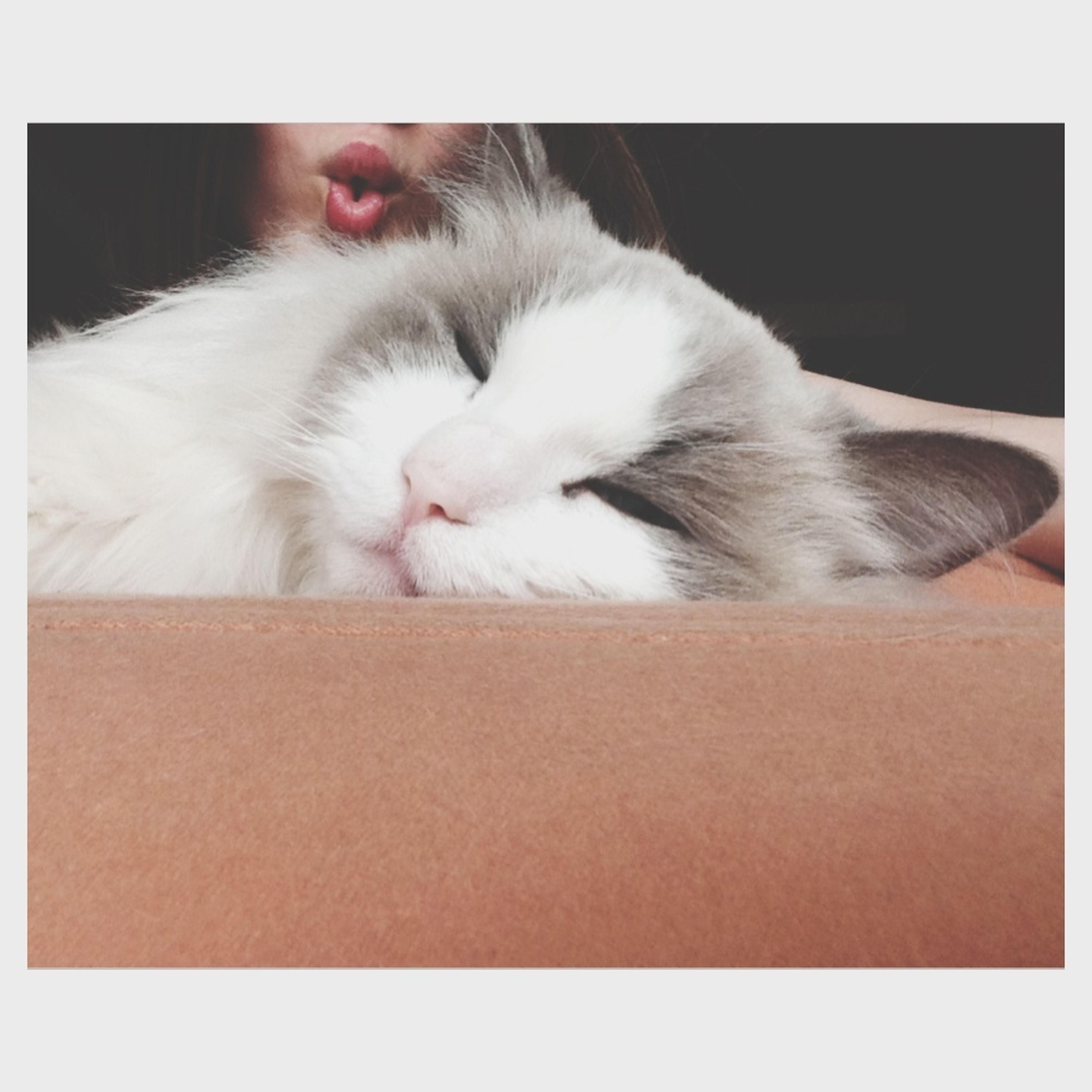 transfer print, pets, domestic animals, animal themes, one animal, domestic cat, mammal, cat, auto post production filter, feline, relaxation, indoors, sleeping, resting, lying down, zoology, whisker, animal head, white color, close-up
