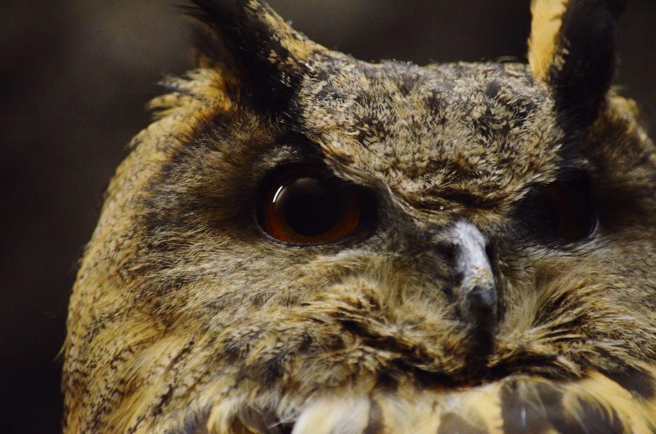 Owl Watching Eyes Birds