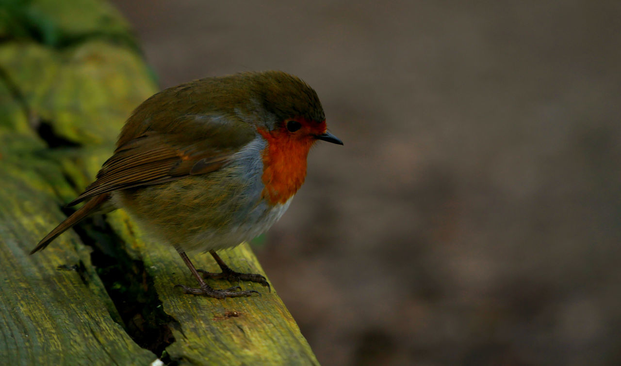 Sometimes beauty comes in small packages. Bird One Animal Animal Themes Animal Wildlife Animals In The Wild Beauty In Nature No People Outdoors Close-up Branch Robin Robin Redbreast Bird Photography Birds Of EyeEm  Birds_collection Birds🐦⛅ Redbreasted Robin Wintertime