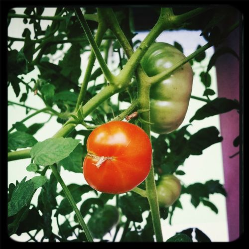 Tomatoes Mizz Nunuy Fruits Vegatables EyeEm Indonesia Eye4photography  Taking Pictures EyeEm Gallery Part Of My Life  Open Edit
