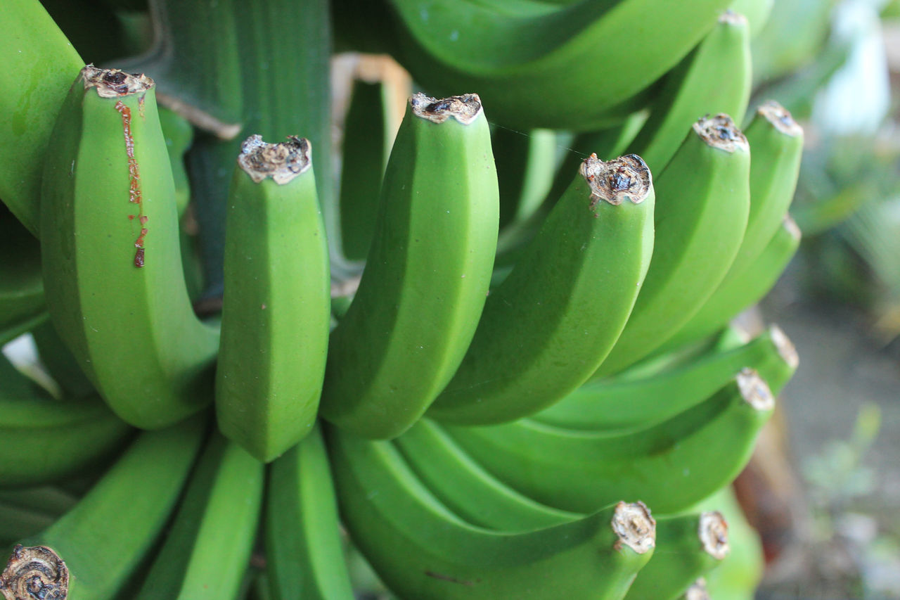 Close-Up Of Unripe Bananas