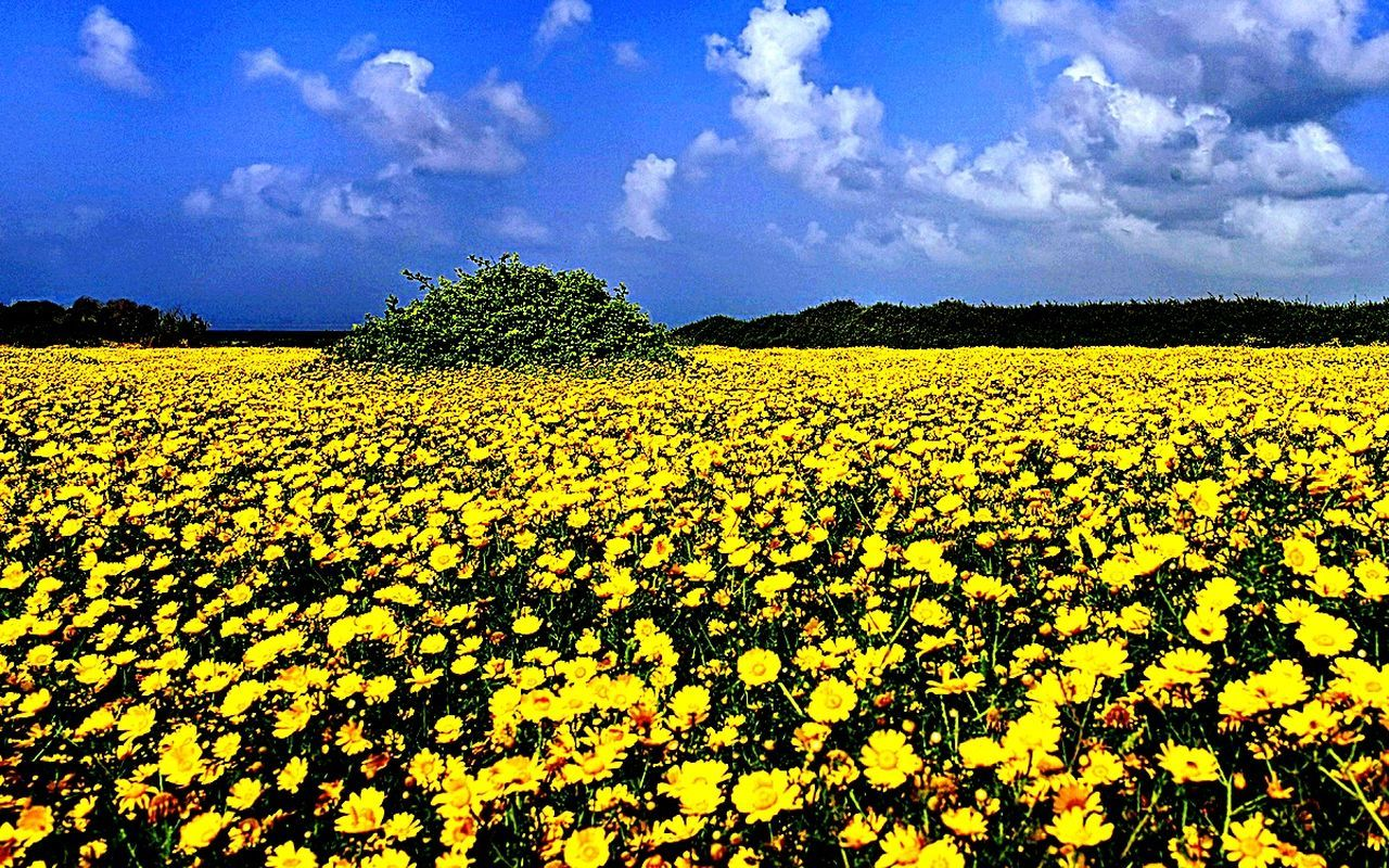 yellow, flower, nature, beauty in nature, field, growth, cloud - sky, sky, agriculture, tranquility, oilseed rape, scenics, day, crop, tranquil scene, plant, outdoors, abundance, landscape, no people, fragility, rural scene, freshness, flower head