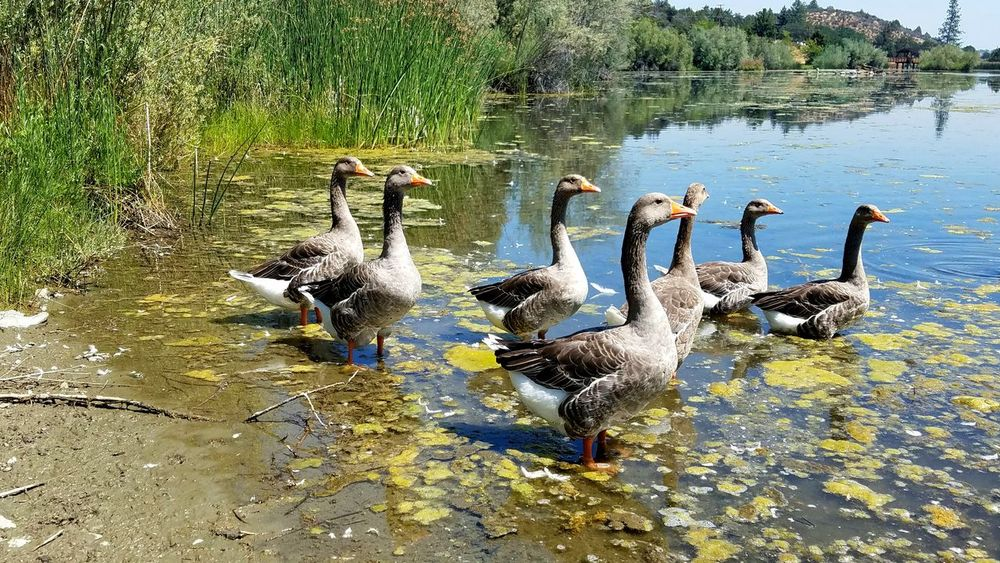 Geese Family Geese Geese At The Lake Animal Themes Animals In The Wild Animal Wildlife Reflection Outdoors Bird Nature Large Group Of Animals Quacking Simple Zen Togetherness Meditation Symmetry Pattern Background Copy Space Rewilding Rural Scene Tranquility Fragility Lake