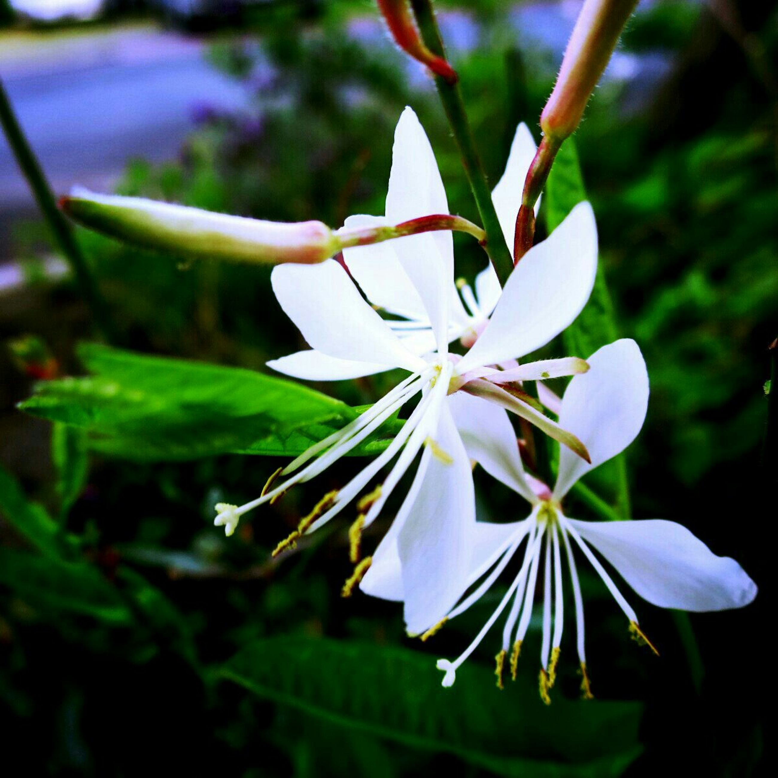 flower, petal, freshness, fragility, flower head, white color, growth, beauty in nature, focus on foreground, close-up, blooming, pollen, stamen, nature, in bloom, single flower, plant, blossom, park - man made space, leaf