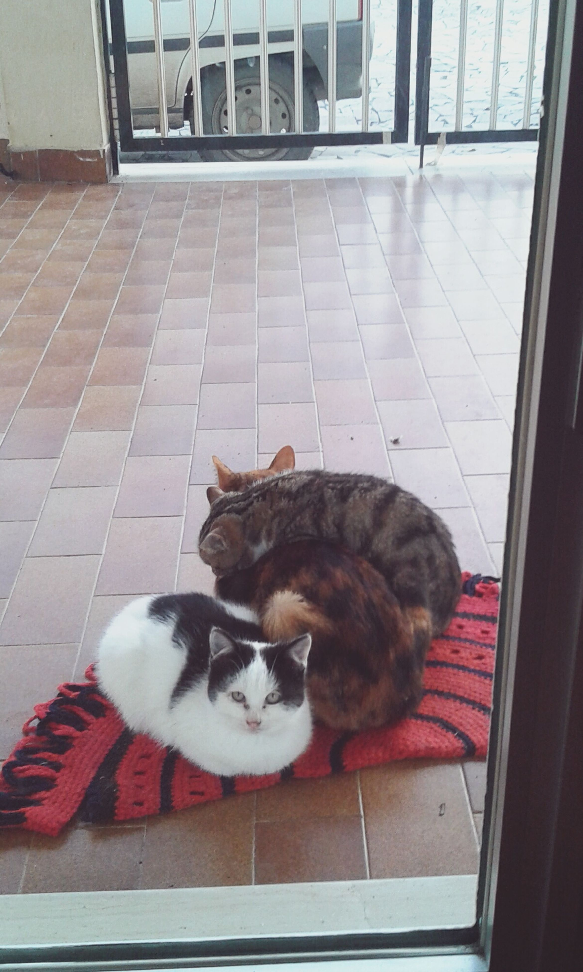 pets, domestic cat, domestic animals, mammal, animal themes, feline, one animal, indoors, no people, portrait, yawning, day