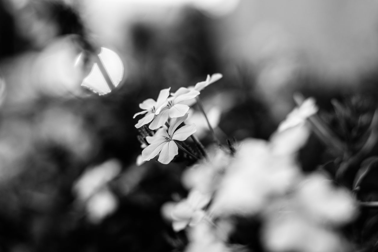 Flowers Beauty In Nature Black And White Flower Blossom Bokeh Close-up Day Flower Flower Head Flowers Fragility Freshness Growth Nature No People Outdoors Plant Shallow Depth Of Field Tree Wallpaper Flower Wallpaper Flower Design