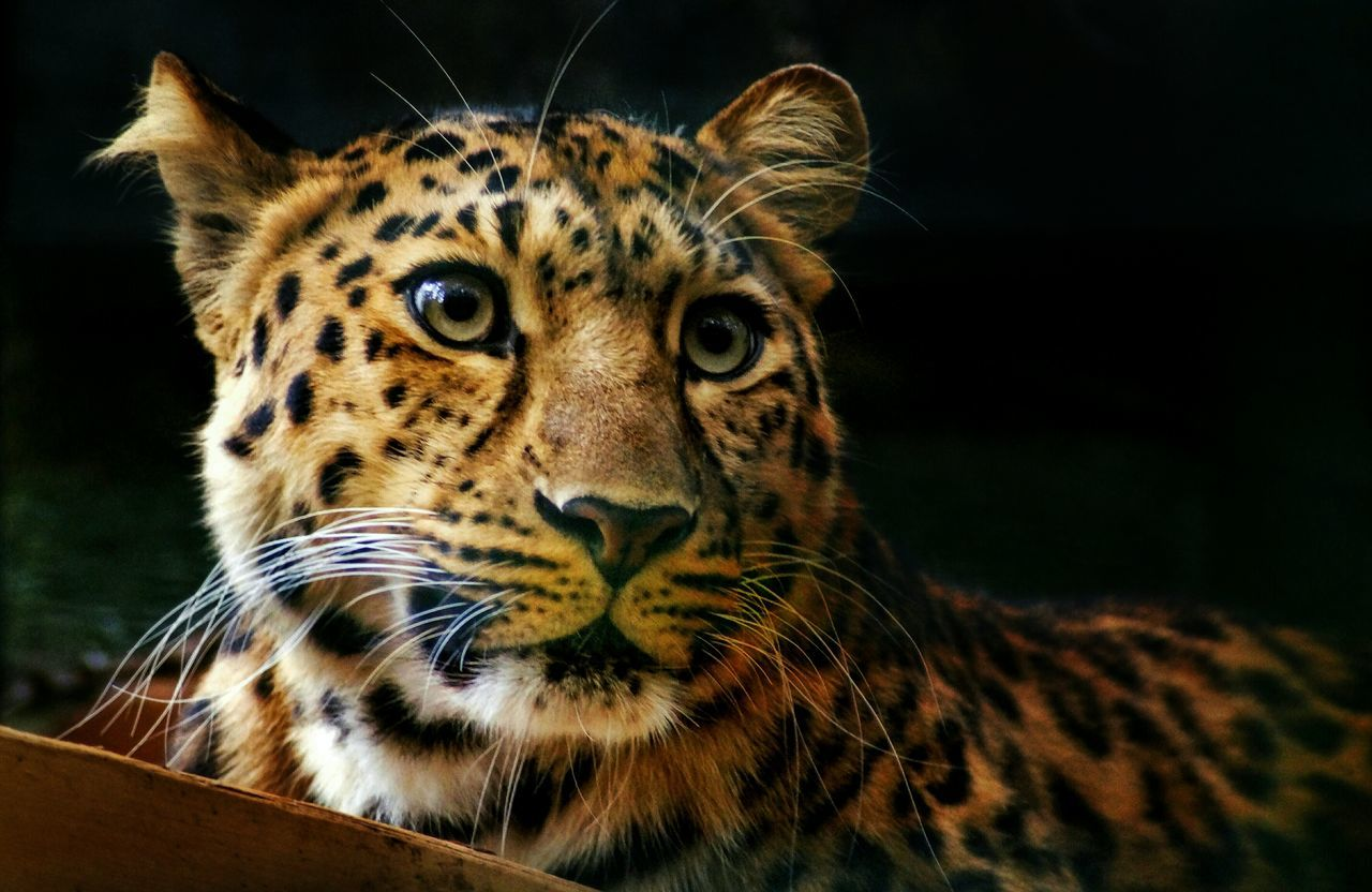 the world's rarest wild cat...Amur Leopard.There are only ~ 60 known individuals currently alive . So proud I was able to take a picture😍🐆🎊 One Animal Animal Themes Wildlife Close-up Alertness Animal Head  Looking At Camera Outdoors Focus On Foreground Beauty In Nature Zoology Endangered Species No People Uncultivated Have A Nice Day♥ Nature My Favorite Photo Selective Focus Captive Animals Beautiful Relaxation Resting Nature's Diversities Safari Animals Endangered Animals