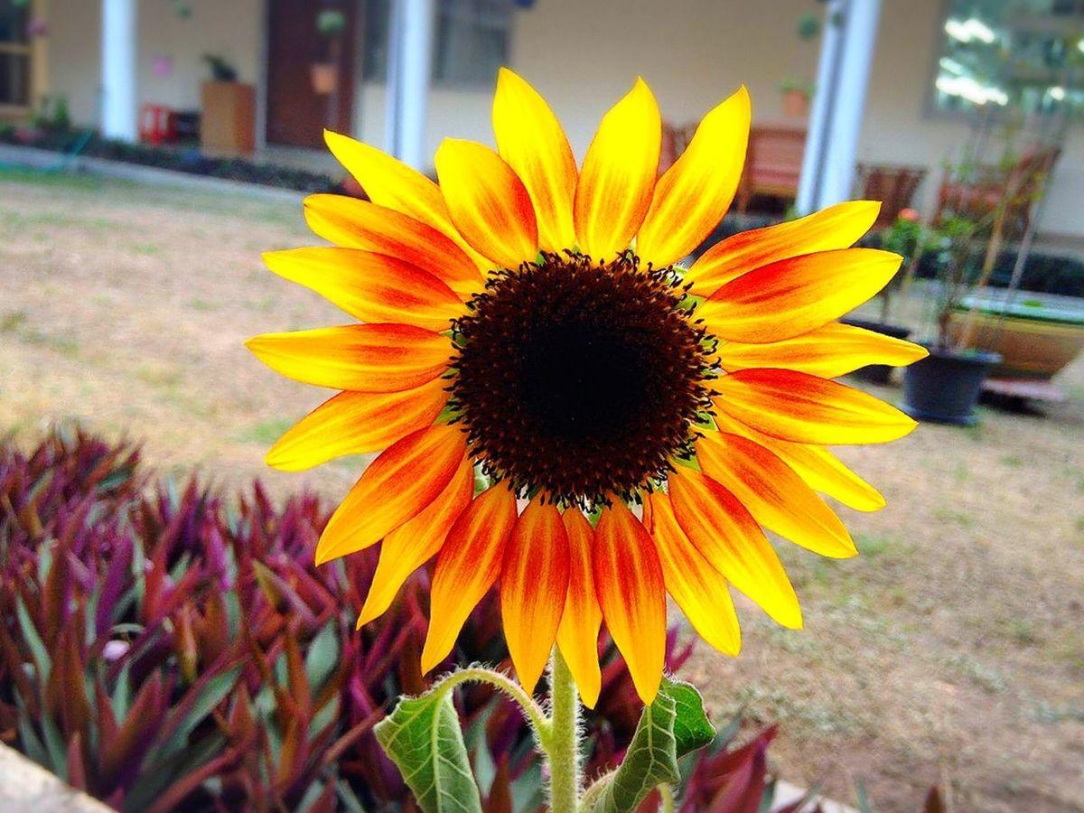 แอบรักดอกทานตะวัน Flower Sunflower Nature Horticulture Floriculture Miss Bangkok Thailand
