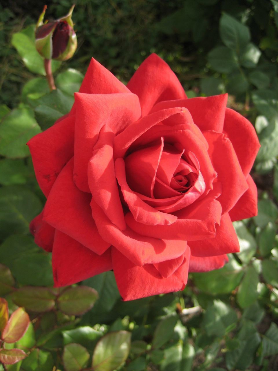 Close-Up High Angle View Of Rose