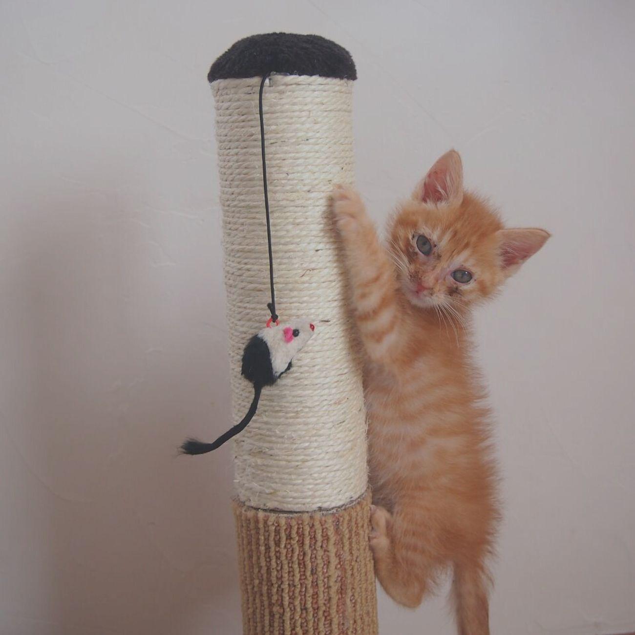 初めて爪とぎに登ったよ♩ Cat Cat Lovers Catoftheday Neko Animals Love Cat World_kawaii_cat にゃんだふるらいふ 猫さんとの生活 Catphoto Catlovers Catlife Catlike Nekostagram First Eyeem Photo
