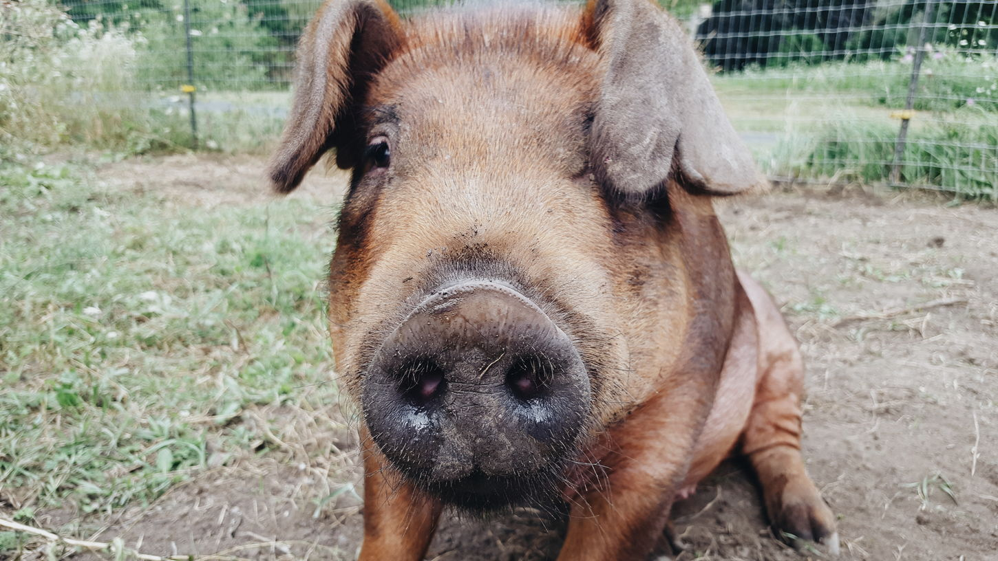 marvin. Animal Themes One Animal Mammal Domestic Animals Dog Field Day Outdoors Pets Focus On Foreground Portrait Nature Close-up No People Grass Pigs Pig Rural Scene Grass Livestock EyeEmSelect EyeEm Selects