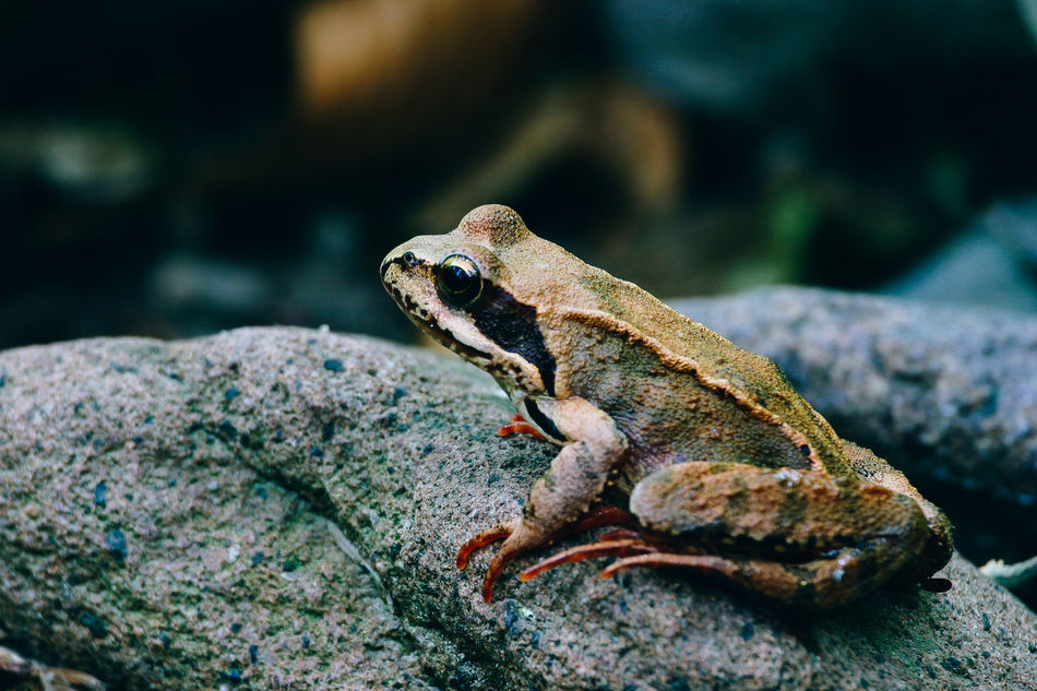 Beautiful stock photos of frosch, Animal Themes, Close-Up, Day, Focus On Foreground