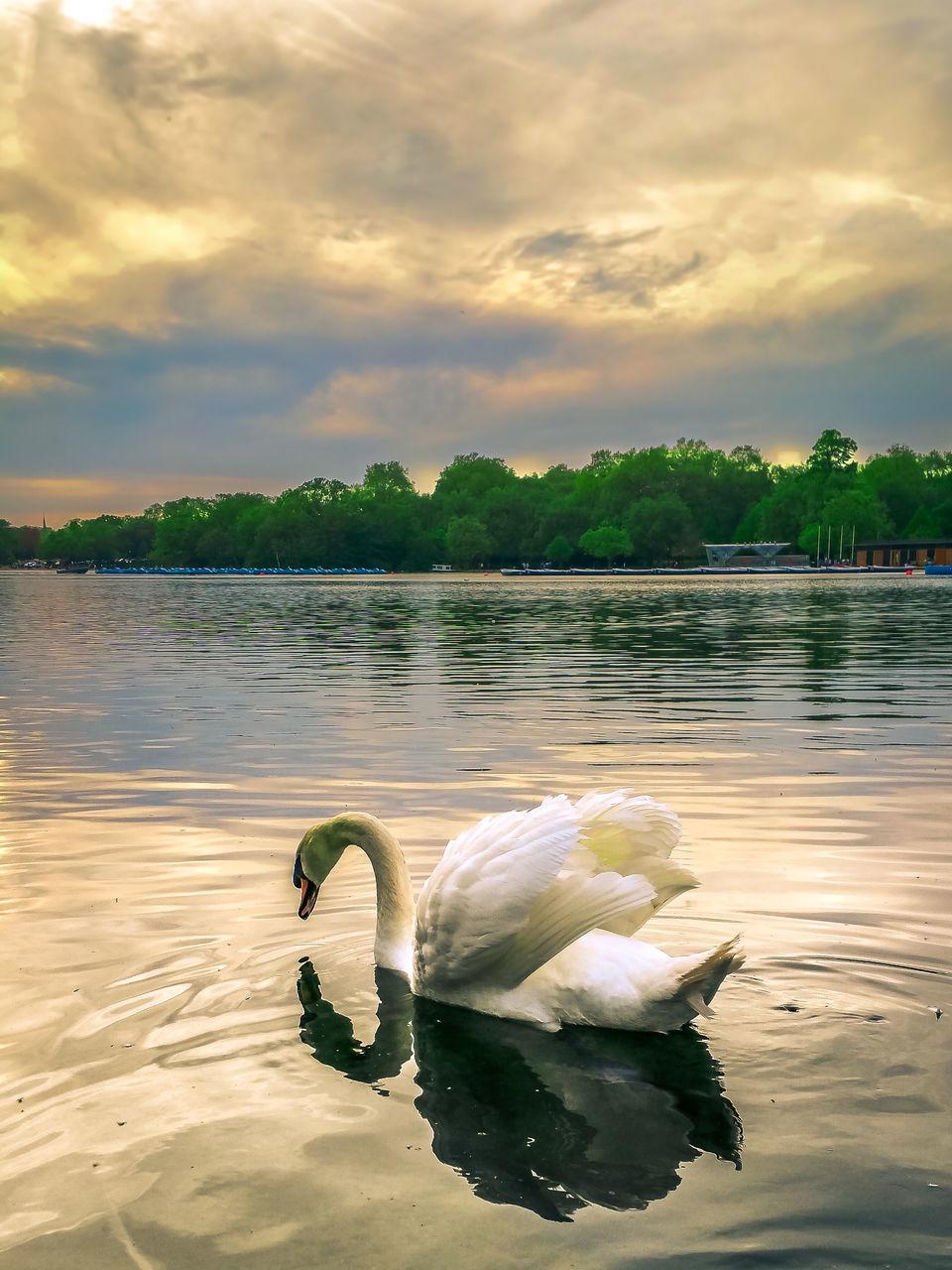 Swan Swimming In Lake During Sunset