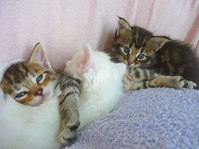 Animal Themes Baby Cat Chats Check This Out Chou Choux Cute Cuty Domestic Animals Domestic Cat Feline Indoors  Katzen Kids Kitten Lieblingsteil Little Looking At Camera Mammal Mignon Pets Portrait So Cute Young Animal
