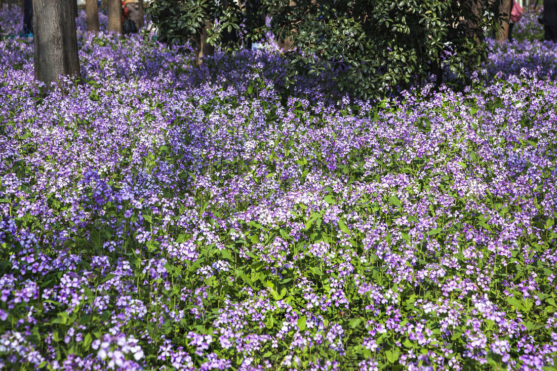 February Orchid Beauty In Nature Blossom Blue China February Orchid Flower Freshness Growth Plant Yew February Orchid In Bloom Nature Outdoors Purple