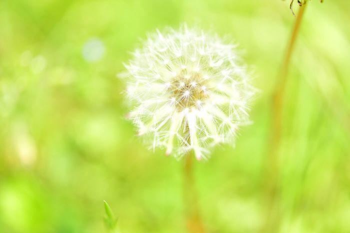 ニコンd750 Nikon ニコン Nikontop Nikon_photography NikonLife Flower タンポポ 綿毛 Nikon Nikon D750 Nikonphotography 自然