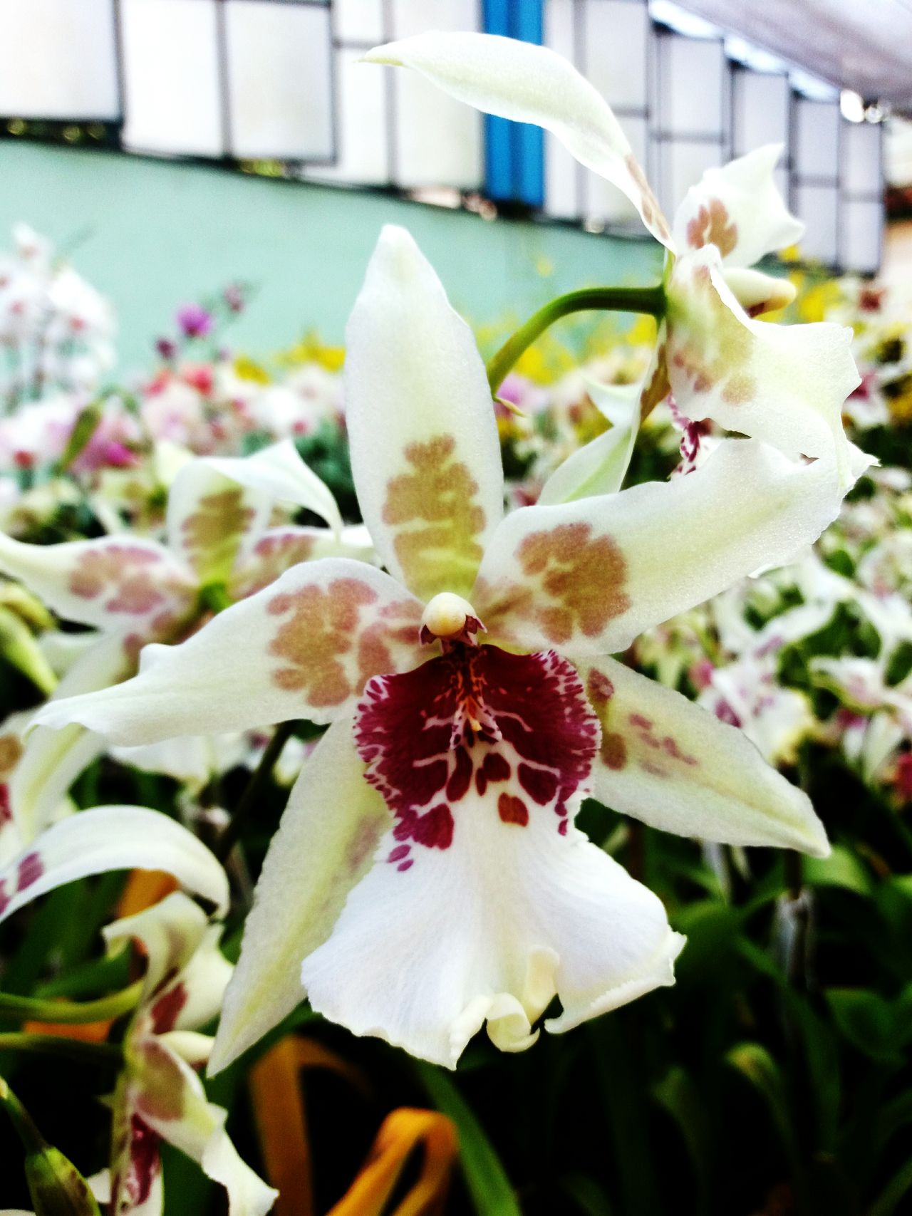 Flower Nature Plant Orchids Orchids Collection Orchids In Bloom Orchid Flower Fragility Beauty In Nature Close-up No People Nature Orchid Springtime Orchidea Multi Colored Blooming Greenhouse Iris - Plant