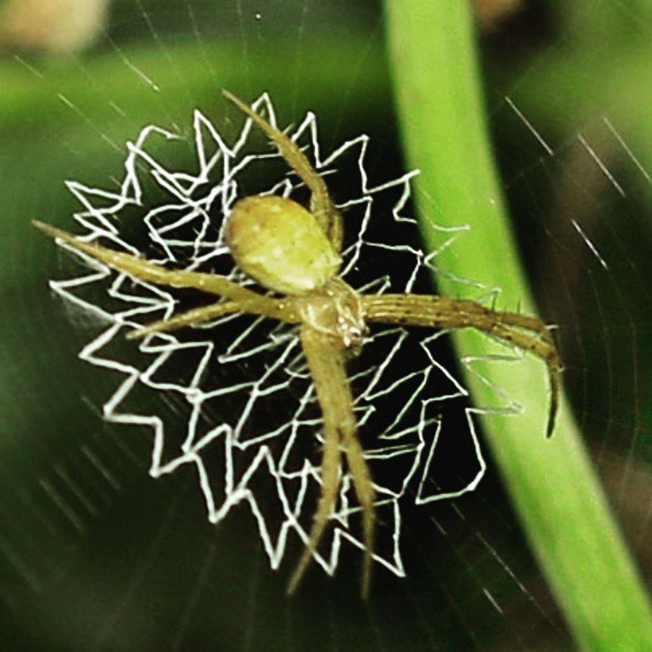 Sarangku okeee... Spider Spiderworld Spiderweb Ig_spiders ig_spider tgif_macro tgif_insects alalamiya_macro KINGS_INSECTS macroworld_tr