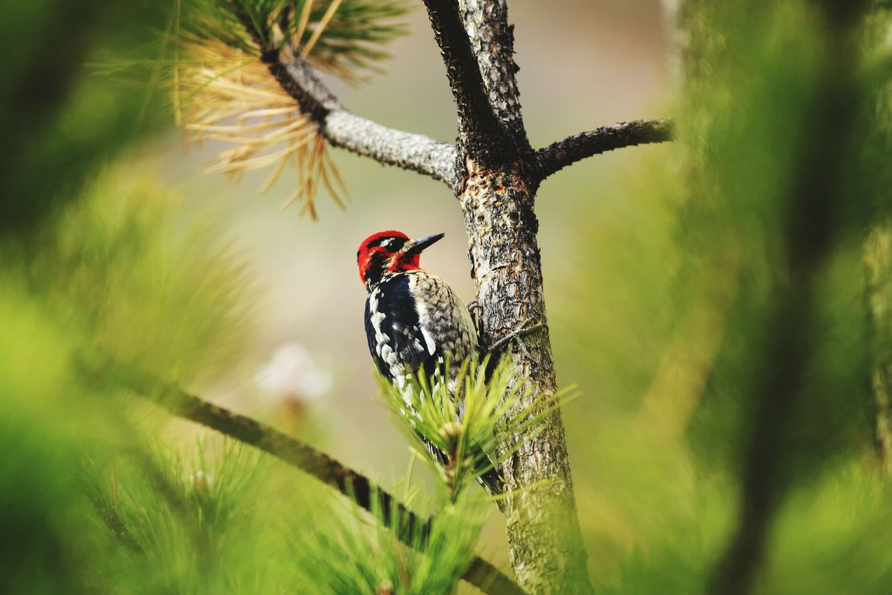 Sapsucker Woodpecker In The Forest Animals In The Wild Rednaped Sapsucker United States Birds Of EyeEm  Nature Wildlife Photography Bird Photography Birds Utah Trees Birdwatching Feathered Friends