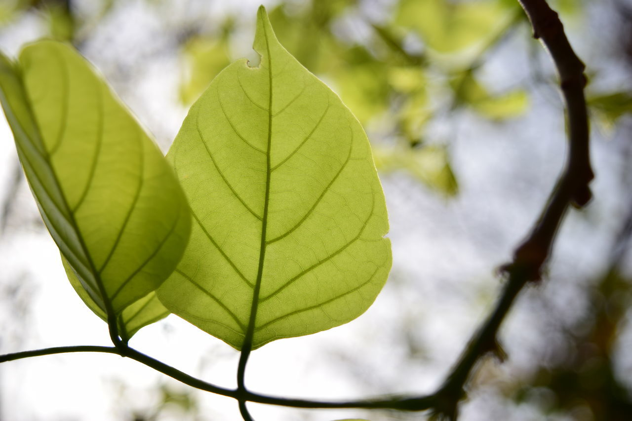 leaf, day, green color, nature, growth, close-up, focus on foreground, outdoors, no people, beauty in nature, low angle view, tree, branch, fragility, freshness, maple