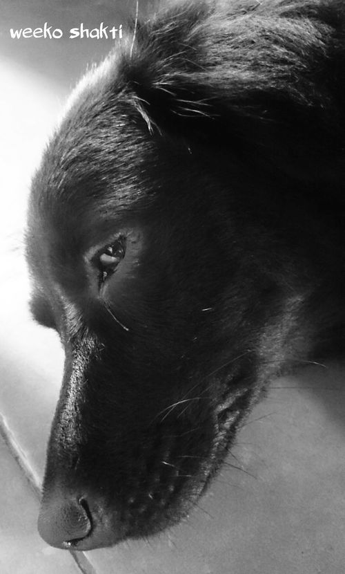 sleepy doggy Bali Dogs Kintamani Dog Weeko EyeEm Animal Lover Dogs Of EyeEm Ilovemydog Ilovebalidog BlackDog Blackandwhite Dog