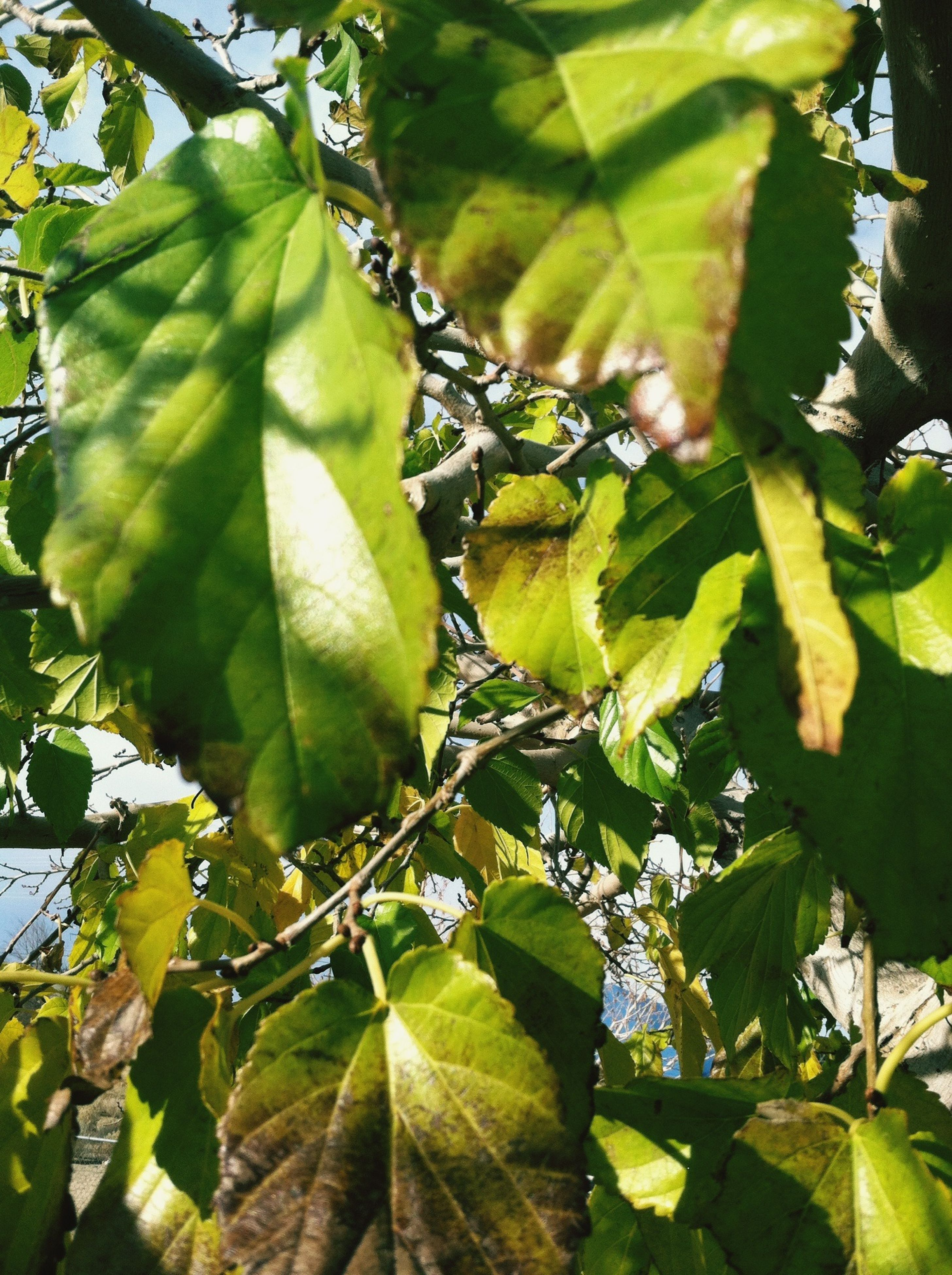 leaf, green color, growth, branch, nature, tree, leaf vein, plant, close-up, leaves, beauty in nature, focus on foreground, sunlight, freshness, low angle view, day, outdoors, green, tranquility, no people