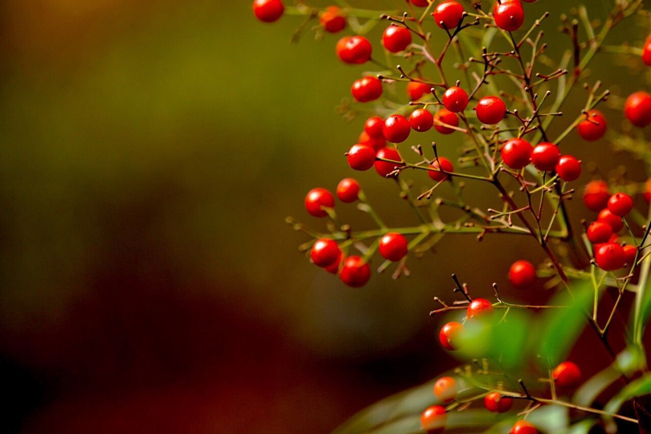 red, fruit, growth, food and drink, tree, rowanberry, nature, food, no people, close-up, outdoors, branch, beauty in nature, freshness, healthy eating, day