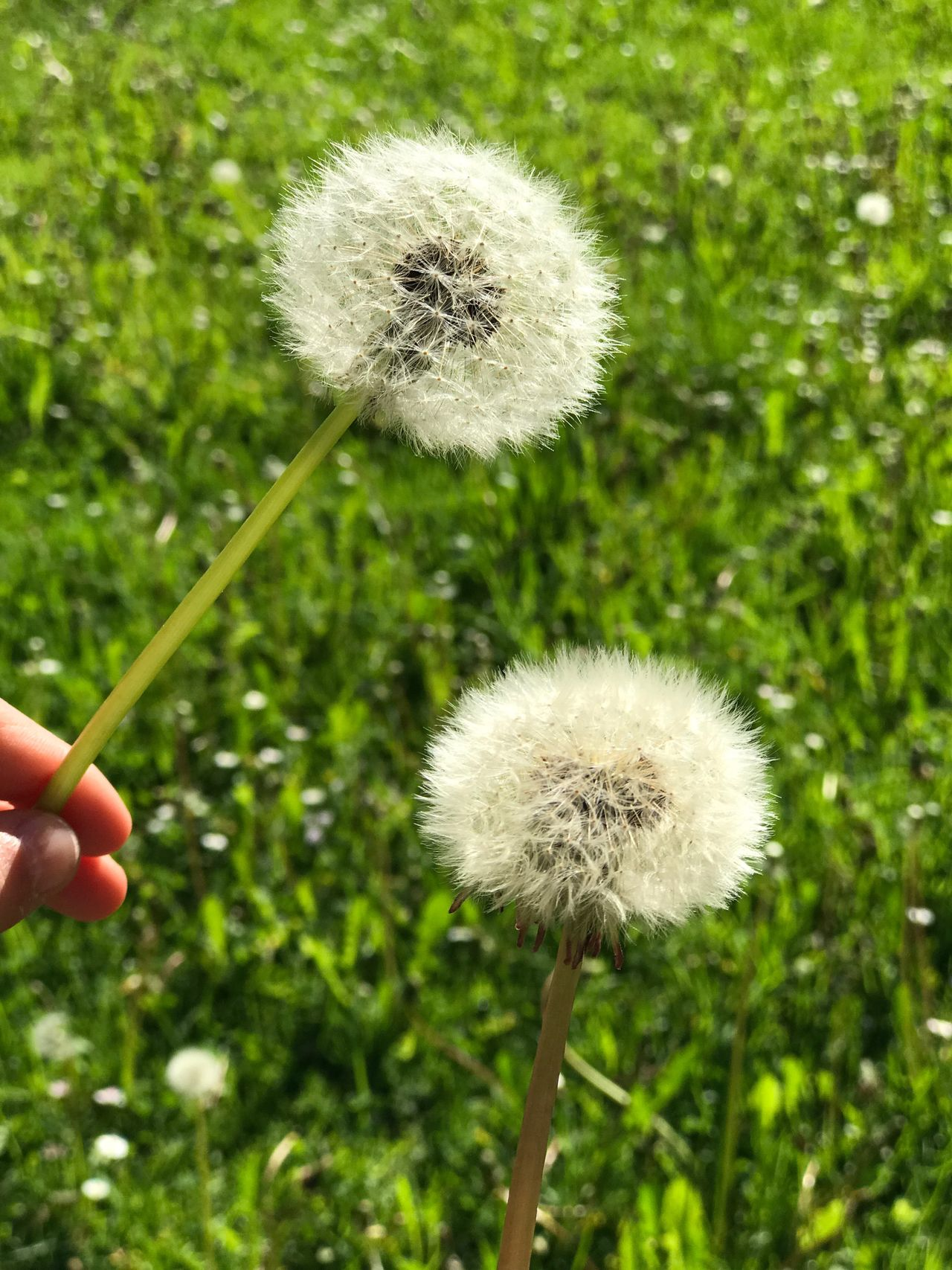 Nature Growth Dandelion Flower Fragility Plant Softness Beauty In Nature Close-up Freshness Day Human Hand Outdoors Grass Human Body Part Flower Head People