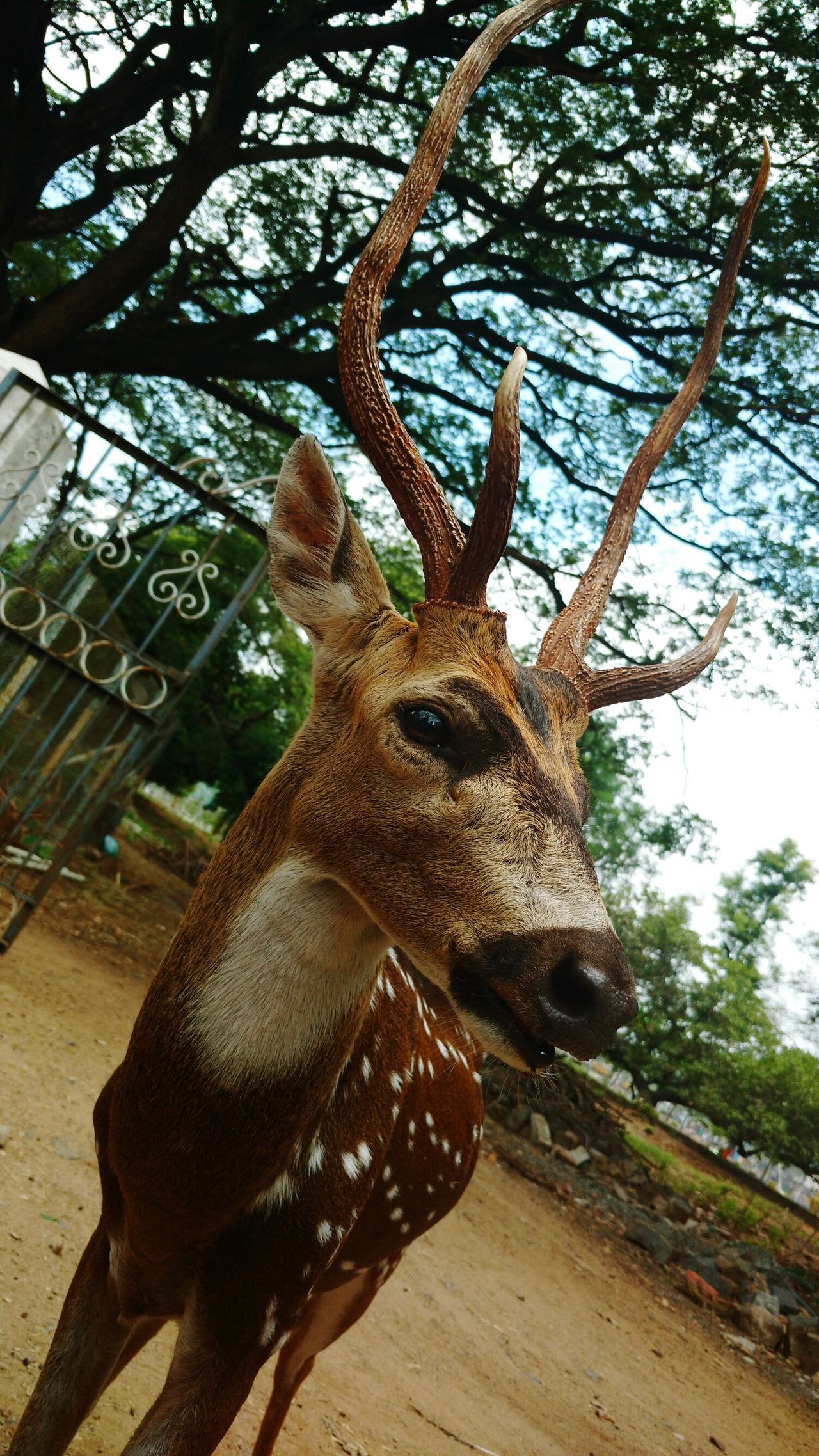 Deer Chital Deer Deer ♥♥ Deer Horns Deer Of India Deer Park Deer Head Deer Sighting Deer In My Yard Deers Nature Beauty Peace Deersighting