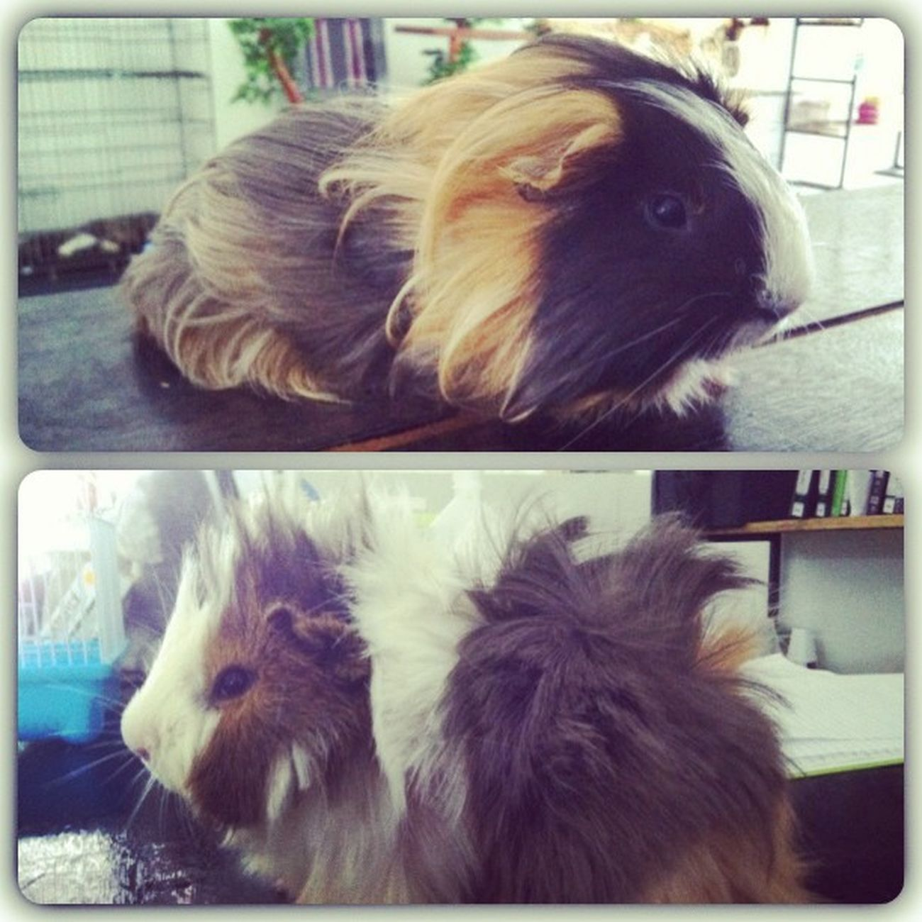 Groom this little doll.. Jeles rambut aku pon x panjang macam bulu die Guinepigs Animals Pets World