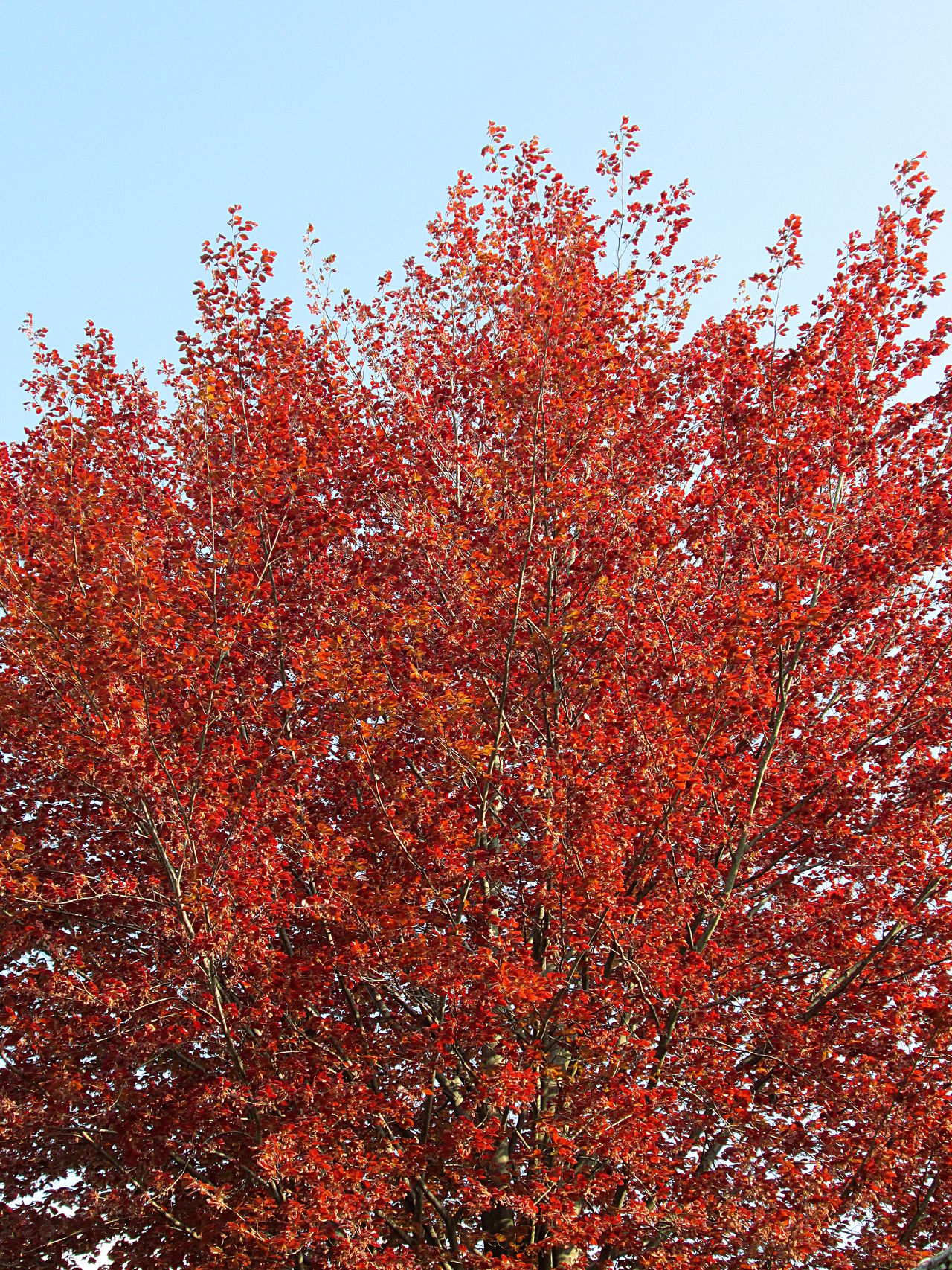 Red dry lush foliage on tree Autumn Beauty In Nature Branch Close-up Crown Day Dry Fall Foliage Freshness Growth Leaves Low Angle View Nature No People October Outdoors Red Tree
