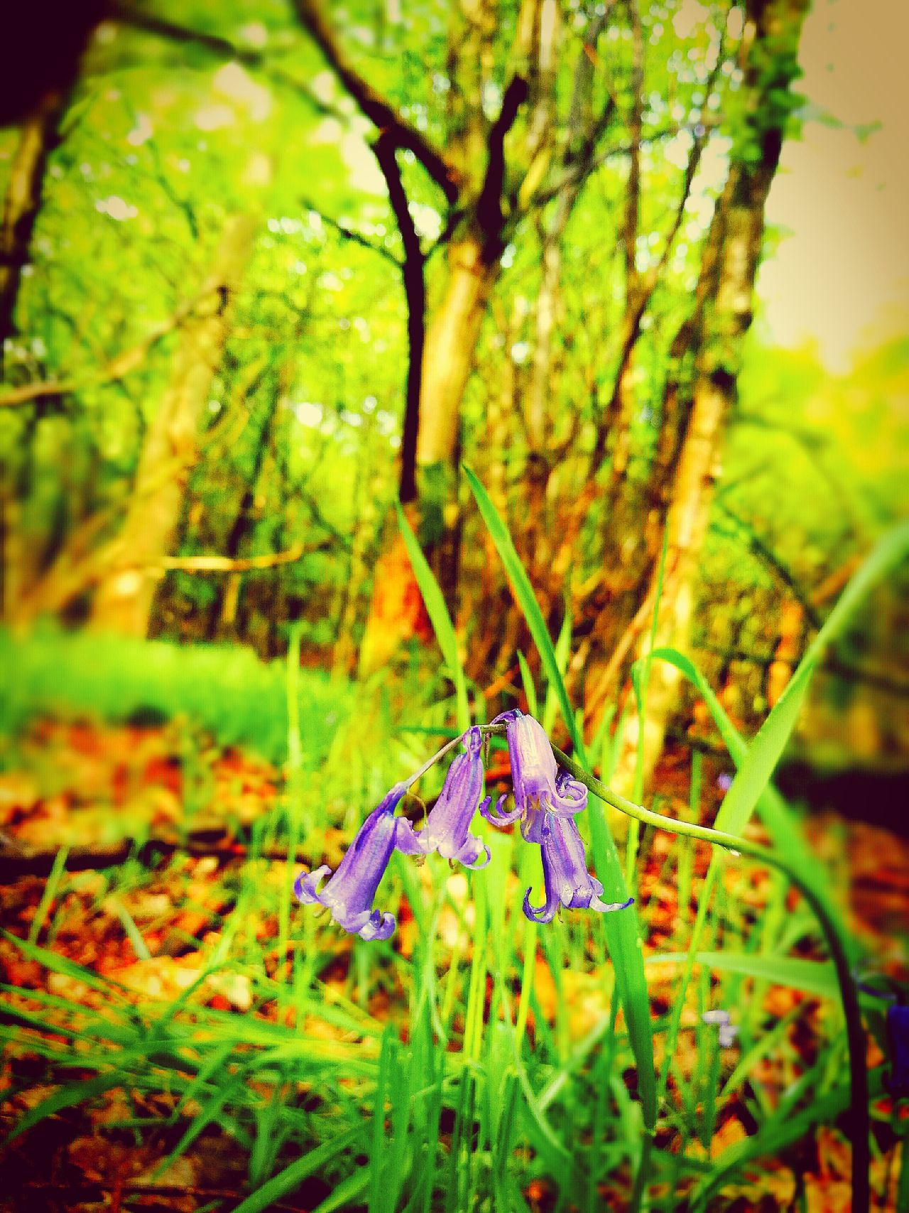 Close-up No People Nature Outdoors Beauty In Nature Fragility Flower Bluebell Wood Growth Plant Focus On Foreground