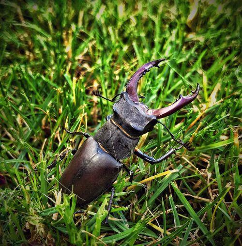Stag-beetle First Eyeem Photo