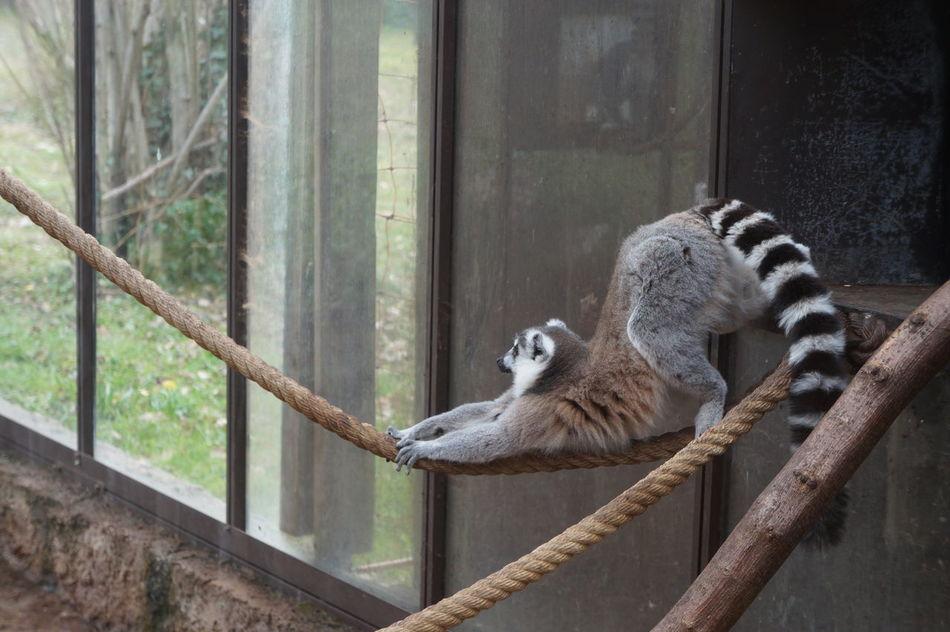 Animals Animals In The Wild Black&white Full Length Raccon Stretching Wildlife Zoo