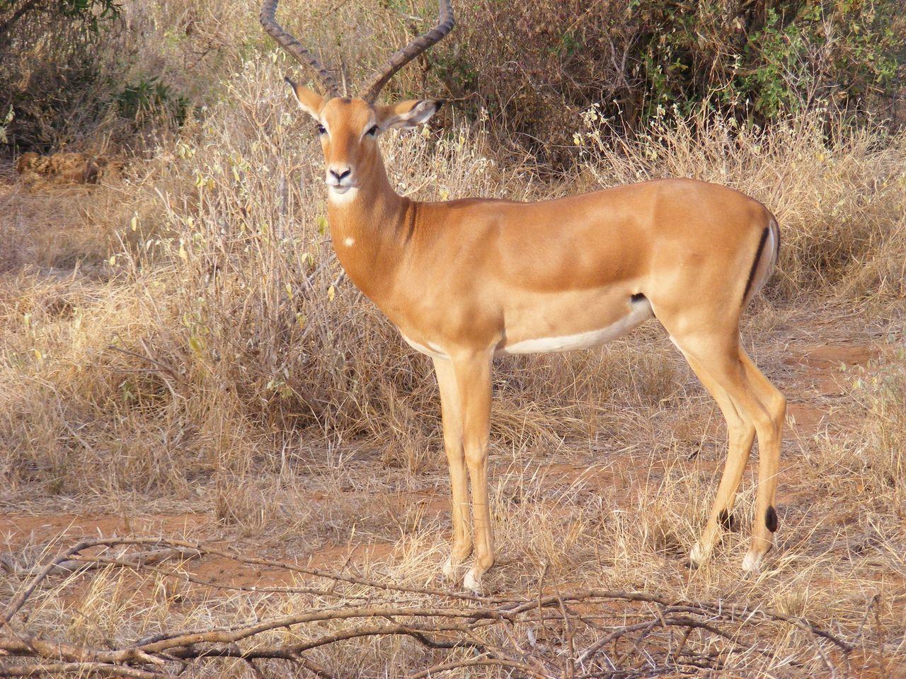 Male Impala Impala Impala Life EyeEm Nature Lover Nature Photography Eye4photography  The Art Of Photography