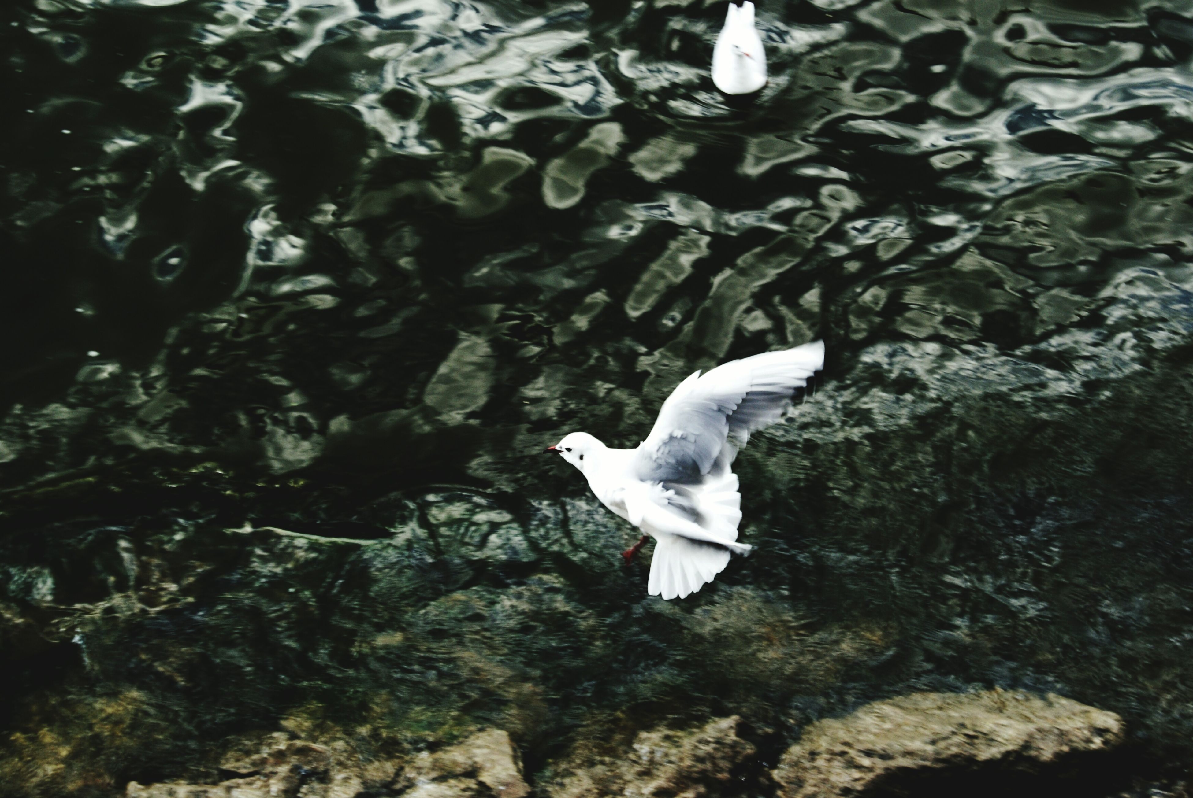 animal themes, animals in the wild, bird, wildlife, one animal, high angle view, flying, white color, water, spread wings, nature, swimming, seagull, day, outdoors, no people, beauty in nature, fish, full length, mid-air