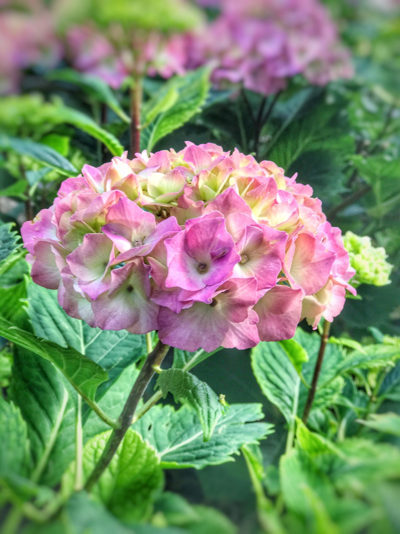 Flower Beauty In Nature Plant Fragility Growth Petal Pink Color Nature Flower Head No People Close-up Leaf Outdoors Green Color Day Focus On Foreground Blooming