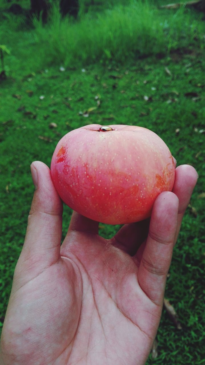 human hand, fruit, human body part, one person, grass, healthy eating, food, food and drink, outdoors, day, holding, apple - fruit, red, human finger, unrecognizable person, real people, freshness, close-up, field, focus on foreground, nature, green color, lifestyles, eaten, people